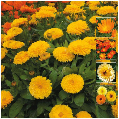 Calendula Pacific Beauty Collection Seeds