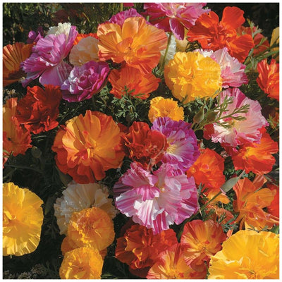 California Poppy Ballerina Mix Seeds