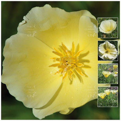 California Poppy Lemon Drops Seeds