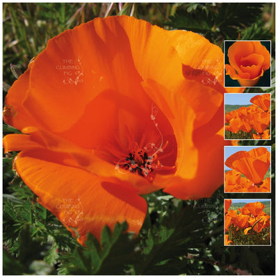 California Poppy World Cup Seeds