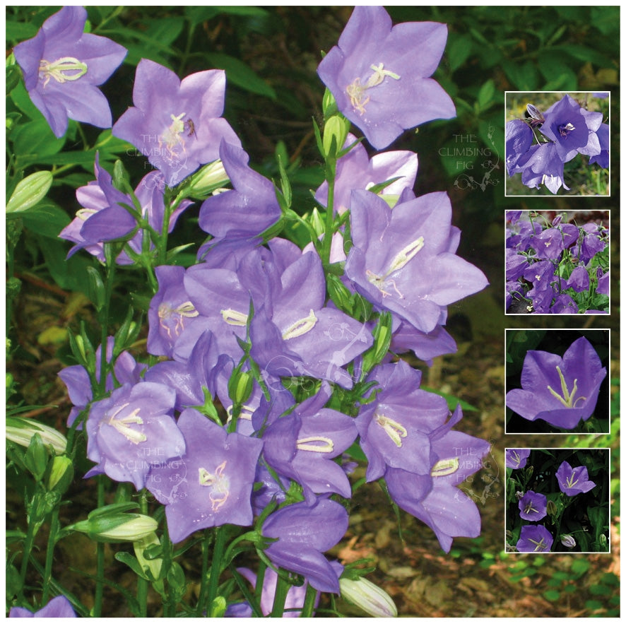 Campanula Blue Bellflower Seeds