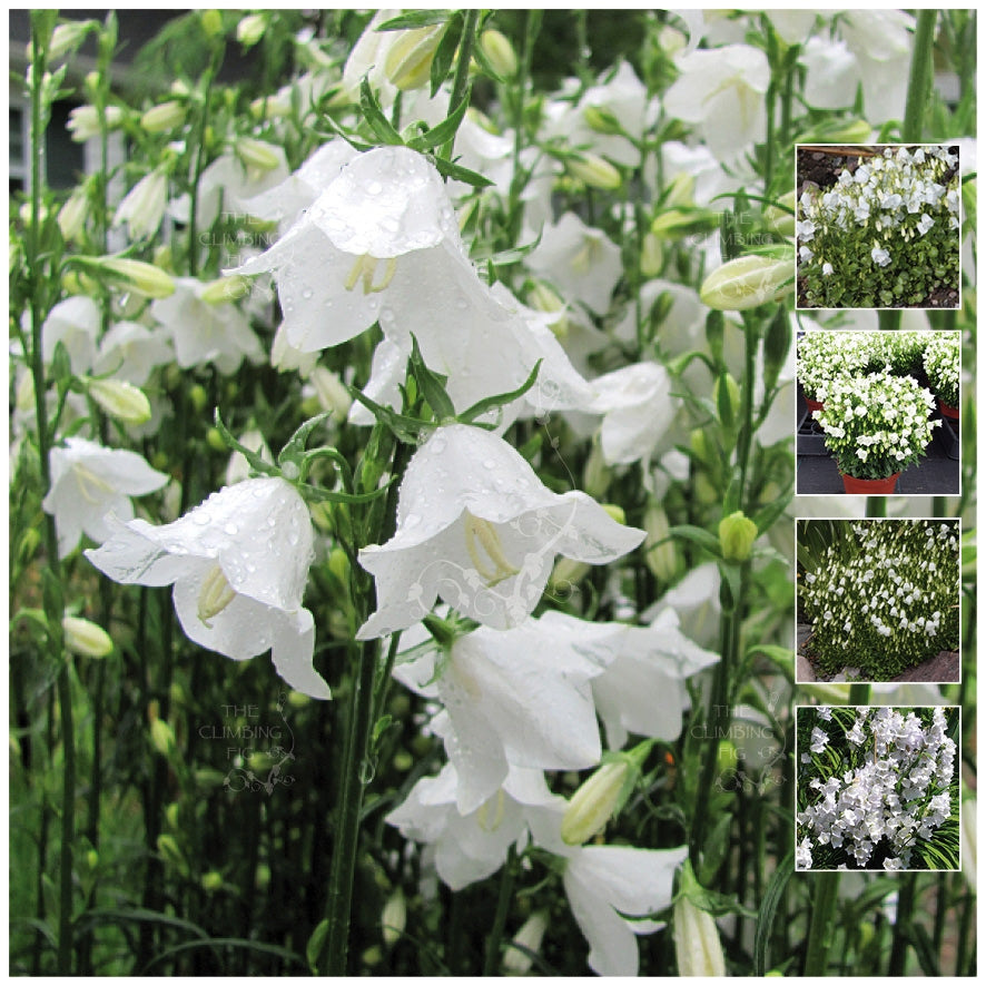 Campanula White Bellflower Seeds