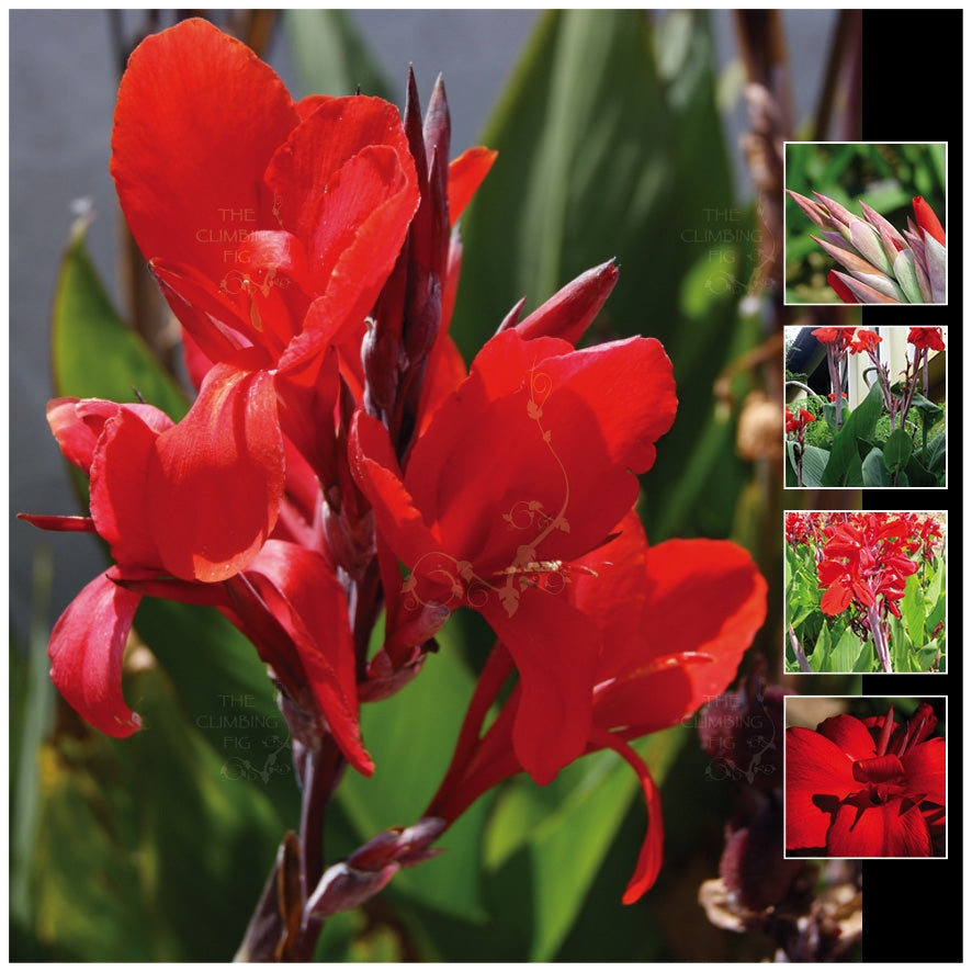Canna Lily Red Royal Seeds