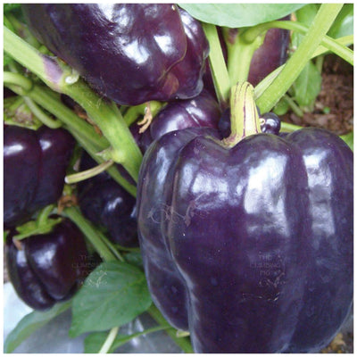 Capsicum Bell Purple Seeds