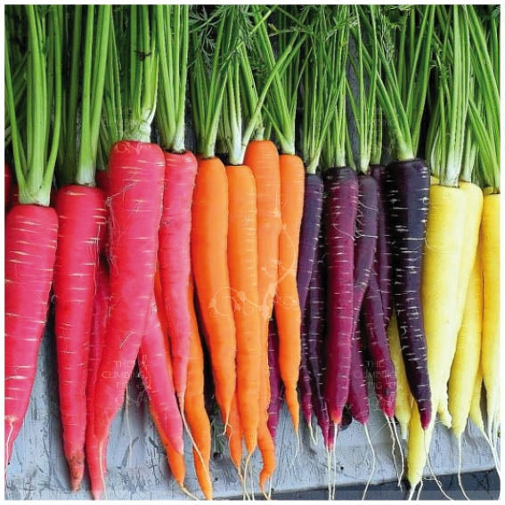 Carrot End of the Rainbow Mix Seeds. Heirloom red purple yellow orange white