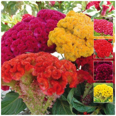 Celosia Pacific Coral Mix Seeds