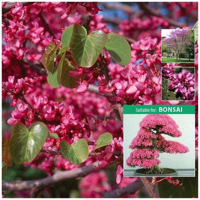 Cercis Judas Love Tree Seeds