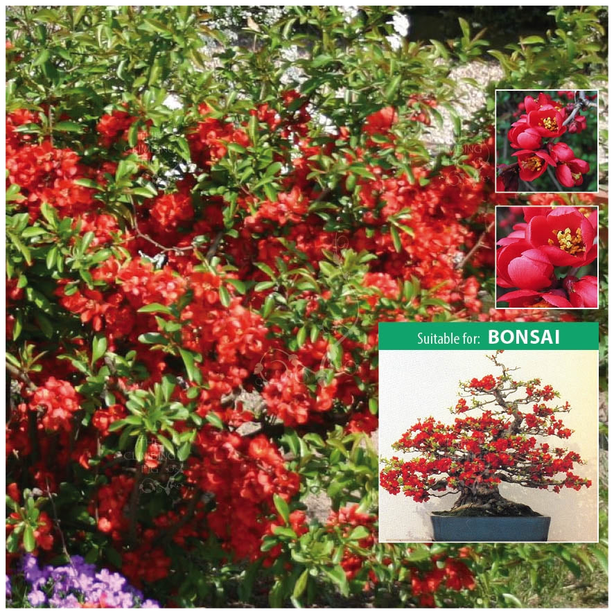 Chaenomeles Dwarf Japanese Quince Seeds. Ideal for bonsai. Red flowering