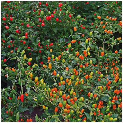 Chilli Oriental Pequin Chili Seeds