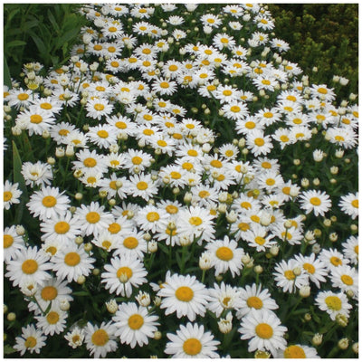 Chrysanthemum Daisy Shasta Seeds