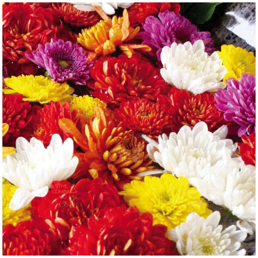 Chrysanthemum Hera Double Mix Seeds. Bright double flowers. Ideal cut-flower