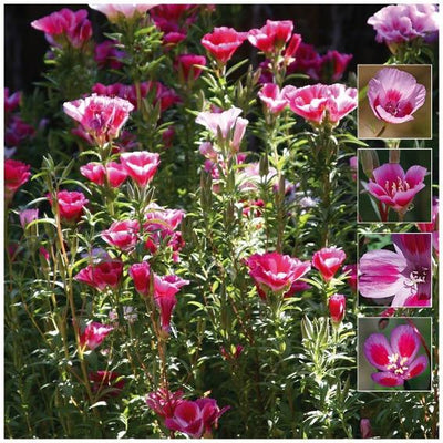 Clarkia Pink Blueberry Mix Seeds