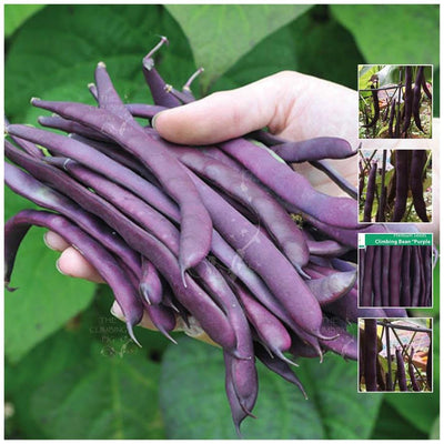 Climbing Bean Purple King Seeds