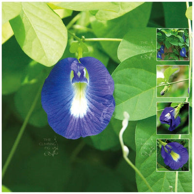 Clitoria Ternatea Blue Butterfly Pea Seeds