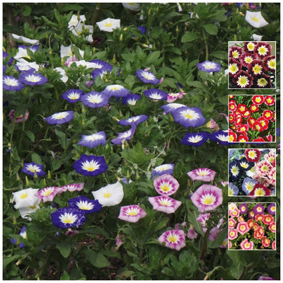 Convolvulus Ensign Mix Seeds