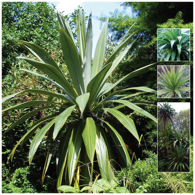 Cordyline Morning Sword Seeds