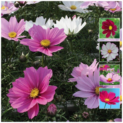 Cosmos Elongata Mix Seeds