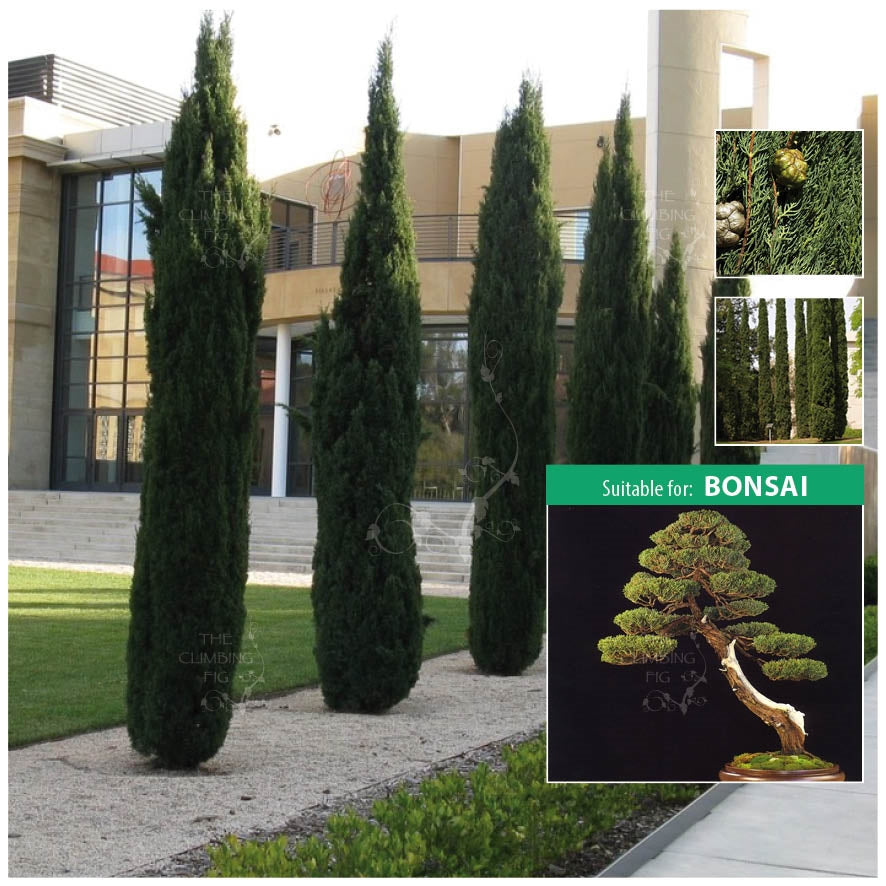 Cupressus Sempervirens Italian Pencil Pine Seeds