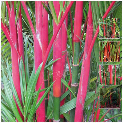 Cyrtostachys Renda Red Wax Lipstick Palm Seeds