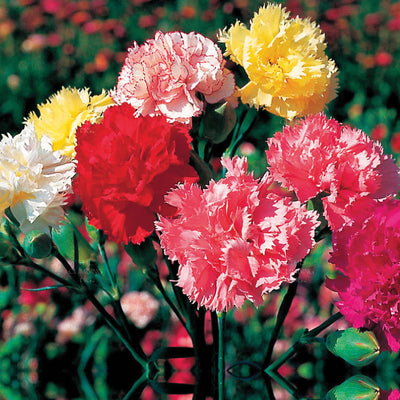 Carnation Chabaud Giants Mix Seeds. Bright mix of large fragrant flowers