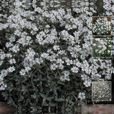 CERASTIUM Snow in Summer x100 Seeds. Perennial ground cover. Nice silver foliage