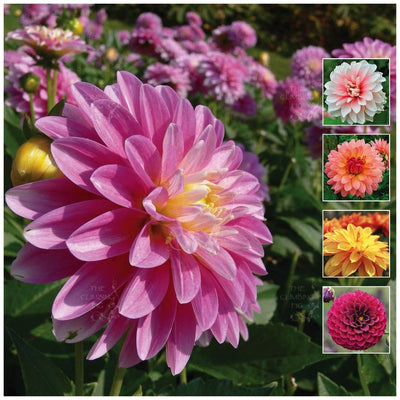 Dahlia Unwins Brightest Seeds