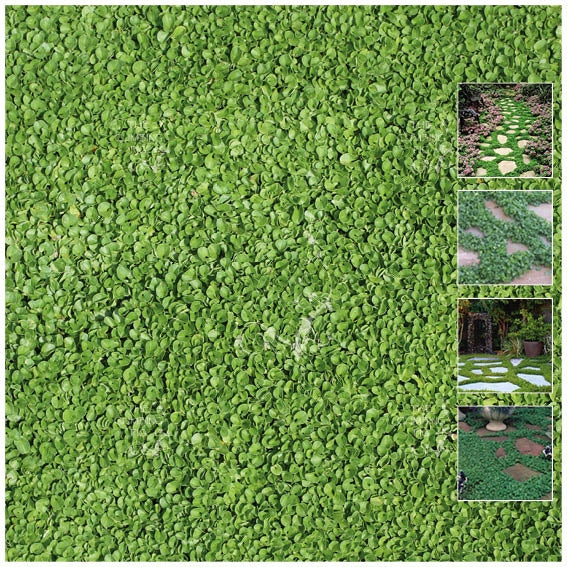 Dichondra Repens PolyGreen Seeds. Landscaping turf replacement groundcover