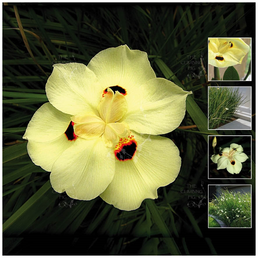 Dietes Bicolor TCF Sunrise Lily Seeds