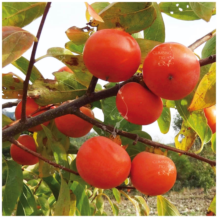 Diospryros Sugar Plum Persimmon Seeds. Heavy yielding variety & large fruit
