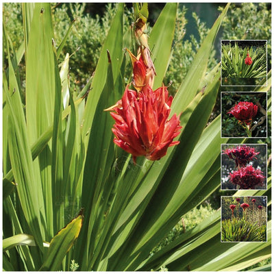 Doryanthes Excelsa Gymea Flame Lily Seeds