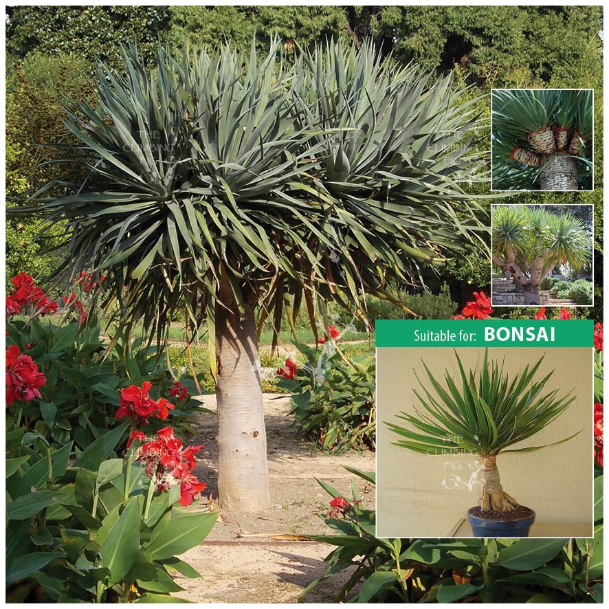 Dracaena Draco Dragon Tree Seeds