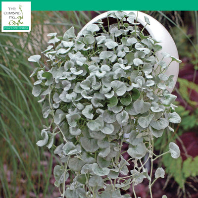 Dichondra Argentea PolySilver Seeds. Silver Falls Ponysfoot. Pack options