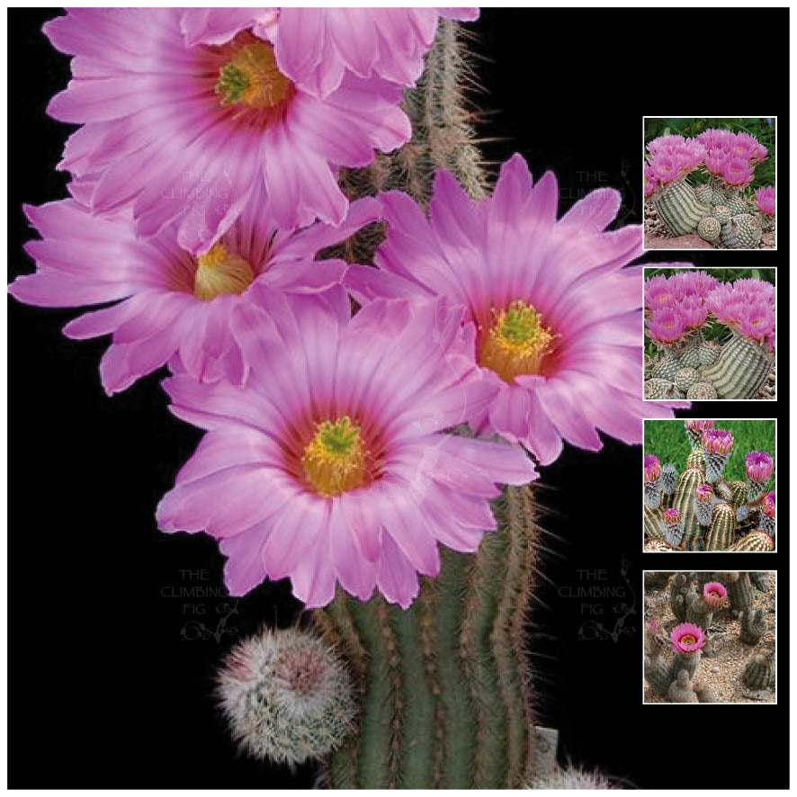Echinocereus Fitchii Lace Cactus Seeds. Pink flower cacti. Hardy succulent