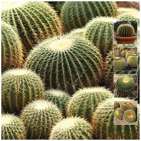 Echinocactus Grusonii Golden Barrel Cactus Seeds