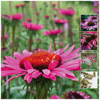 Echinacea Heirloom Improved Seeds
