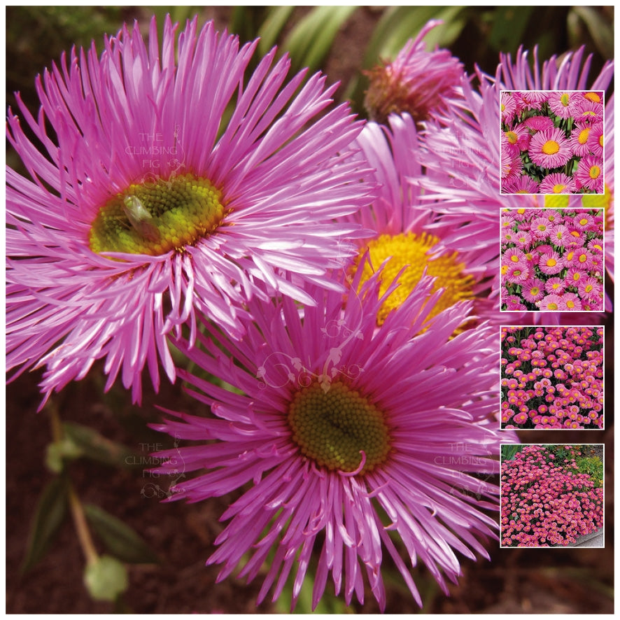 Erigeron Pink Jewel Seeds