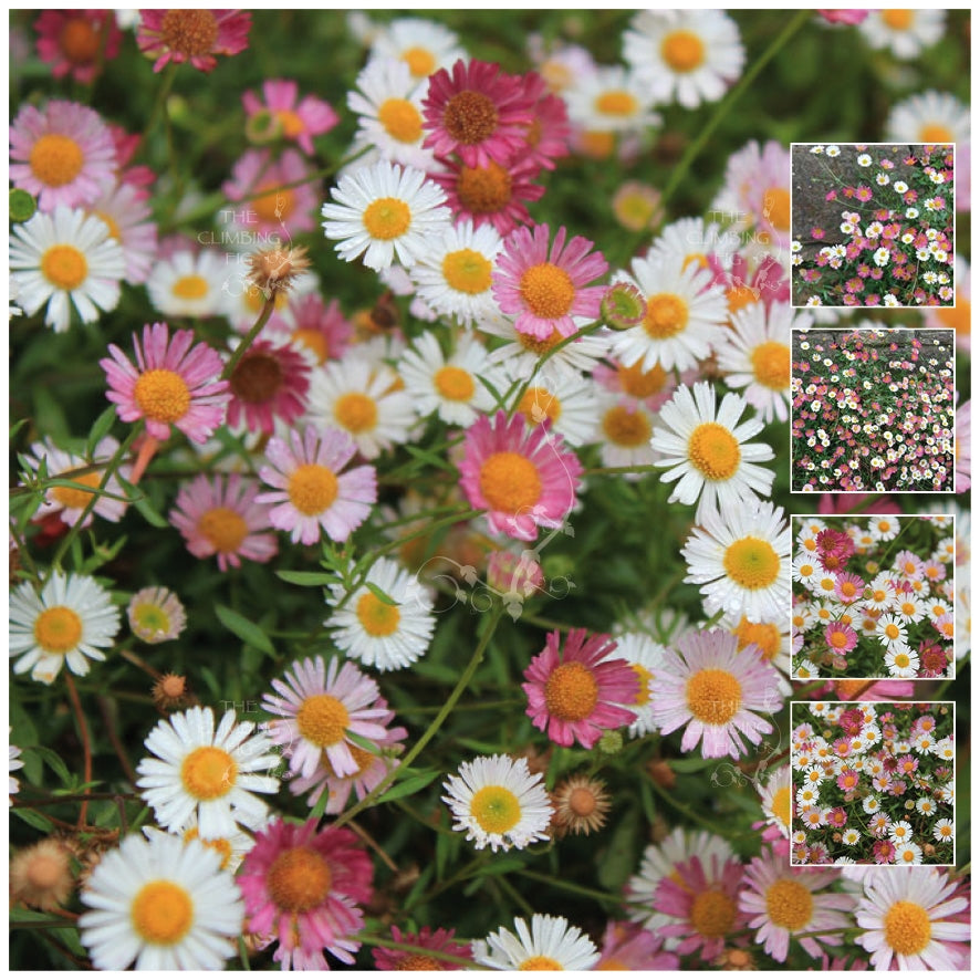 Erigeron Profusion Seeds. Heavy flowering evergreen perennial. Seaside daisy