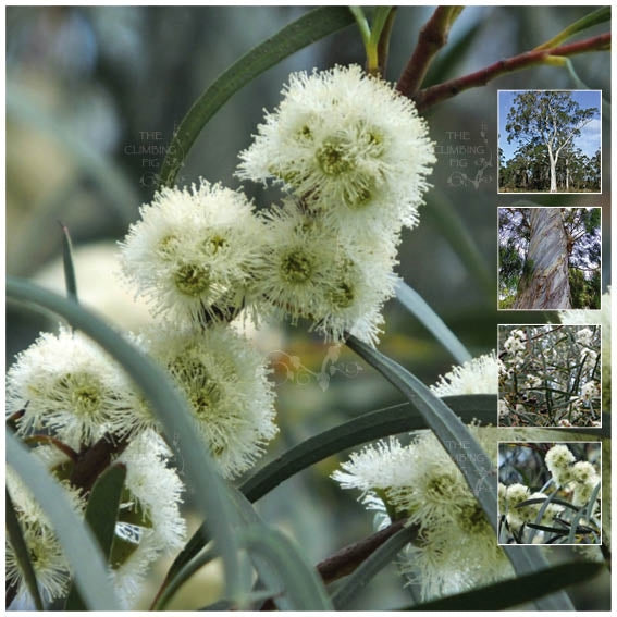 Eucalyptus Pulchella White Peppermint Gum Seeds Aromatic Rare Narrow The Climbing Fig