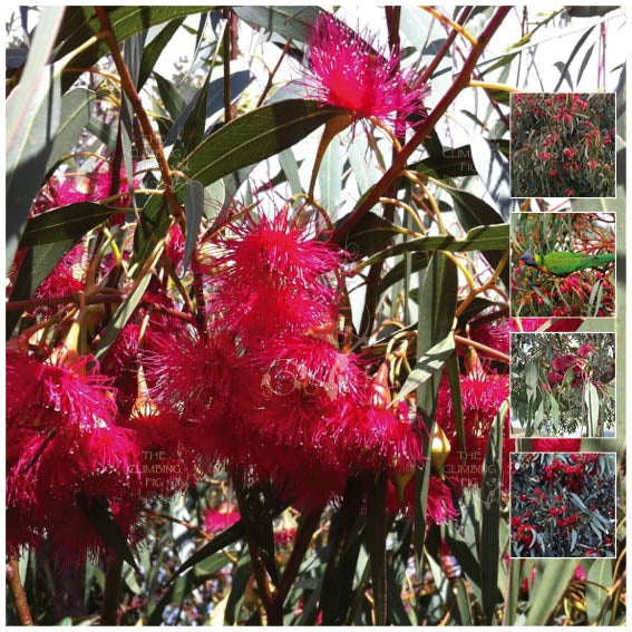 Eucalyptus Red Flowering Yellow Gum Seeds