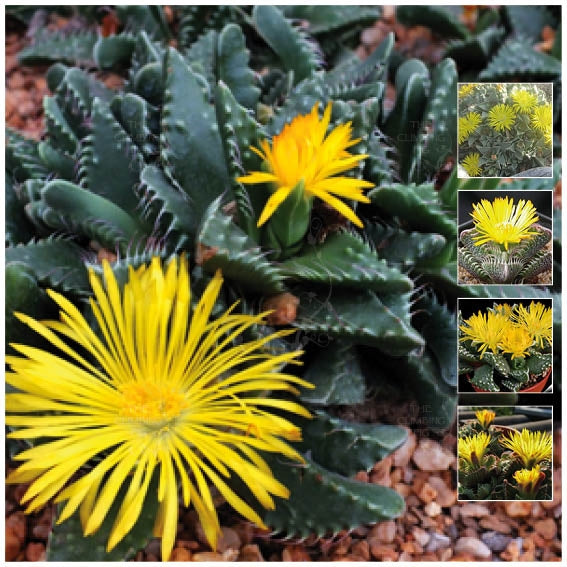 Faucaria Tigrina Tiger's Jaw Seeds