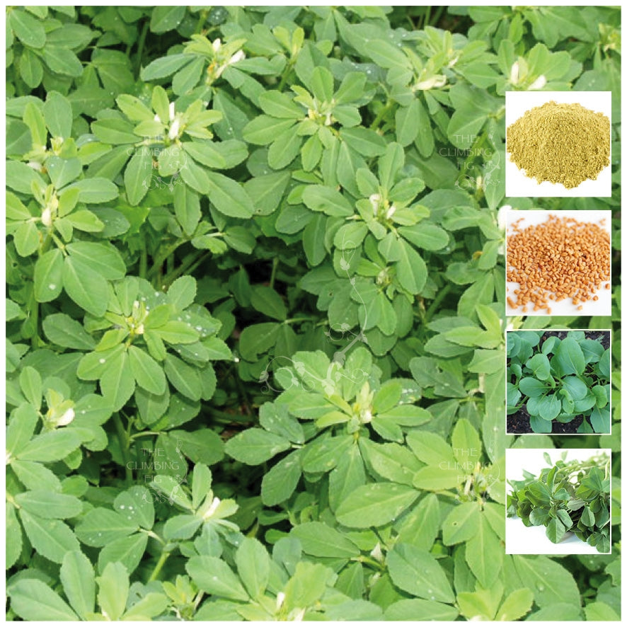 Fenugreek Herb Seeds