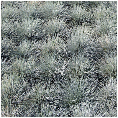Festuca Glauca Dusty Trooper Seeds