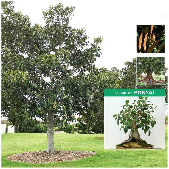 Ficus Macrophylla Moreton Bay Fig Seeds. Evergreen tree. Suitable for bonsai