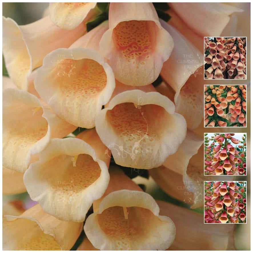 Foxglove Apricot and Peaches Seeds