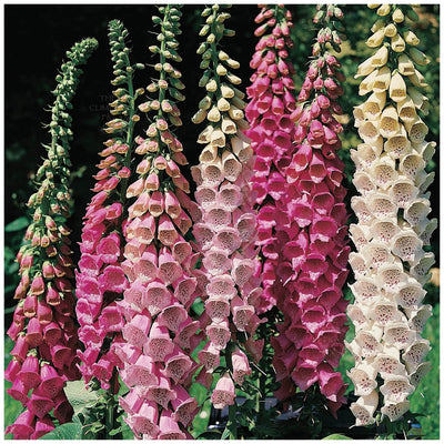 Foxglove Colossal Excelsior Mix Seeds