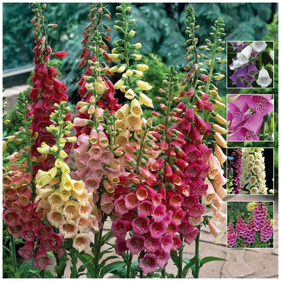 Foxglove Foxy Alpha Mix Seeds