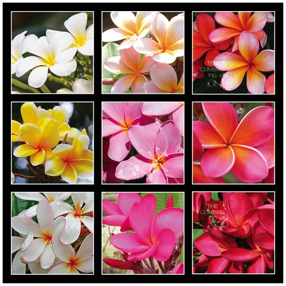 Frangipani Plumeria Hybrida Seeds. Mix of white, yellow, orange, pink & red