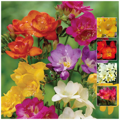 Freesia Majestic Palette Seeds