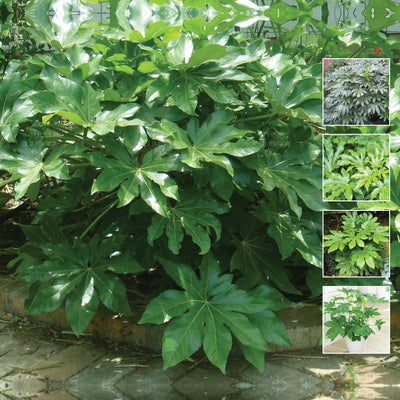 FATSIA Japonica Japanese Aralia Seeds. Glossy green foliage. Suitable indoor