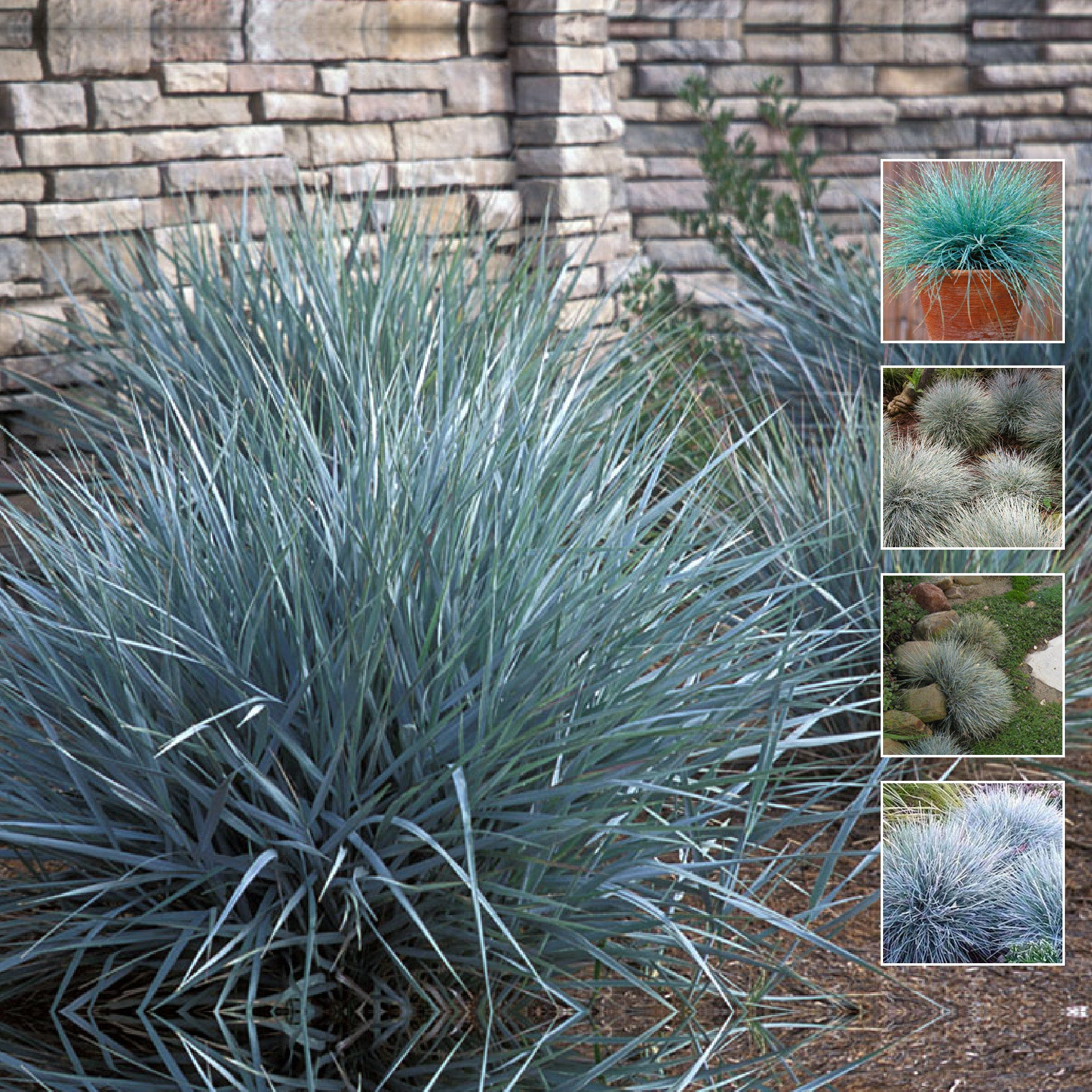 FESTUCA GLAUCA Alpine Silver Seeds. Perennial landscaping. Silver foliage